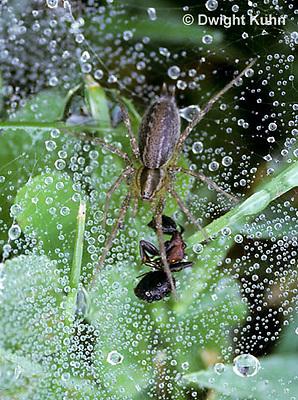 KO01-003c  Grass Spider - sitting in dew with ant prey - Agelenopsis utahana
