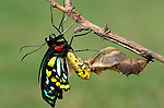 Green Birdwing Butterfly, Ornithoptera priamus, New Guinea and Australia, Pupae hatching sequence, wings crumpled, drying, green and black.Australia....