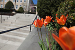 04/26/2013- Medford/Somerville, Mass. - Flowers bloom along the Memorial Steps on April 26, 2013. (Kelvin Ma/Tufts University)