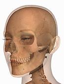 Biomedical anatomical illustration of the human skull inside a female head
