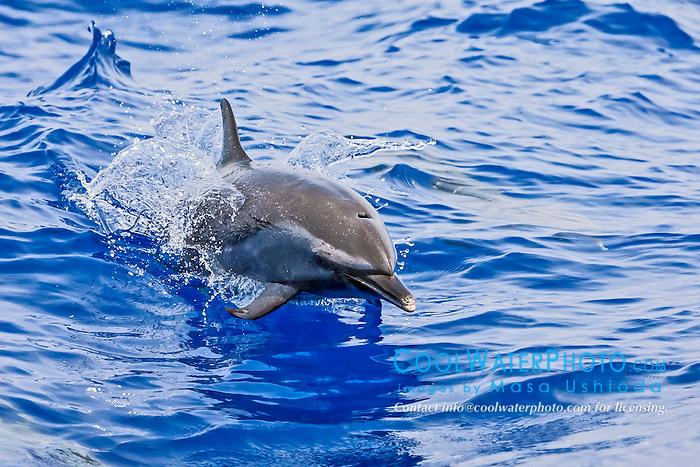 pantropical spotted dolphin, Stenella attenuata, jumping, offshore, Kona Coast, Big Island, Hawaii, USA, Pacific Ocean