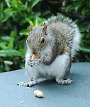 A visit from one of my Squirrel neighbors to my patio for a peanut I had set out for it on Thursday May 28, 2009. Photo copyright Jim Peppler/2009. All Rights Reserved.