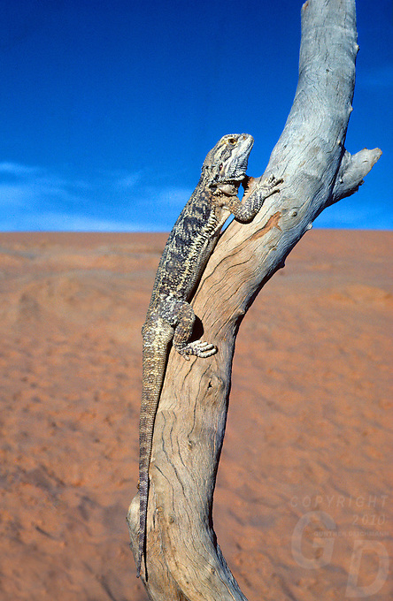 BEARDED,DRAGON in the South Australian desert
