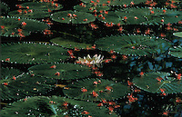 Kakadu flora and fauna who large lily pads and one flower on a lake.