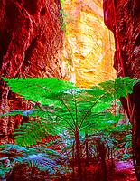 Rare king ferns in a slot canyon Carnarvon National Park Queensland, Australia Todea barbara Fronds 15' 45 VIC m