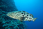 Potato cod (Epinephelus tukula)
