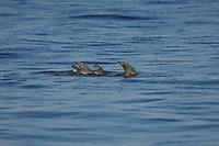 The fins of three spinner dolphins over the flat waters of Hawaii.<br /> Delfines jugando y saltando en las aguas de Maui,Hawaii.
