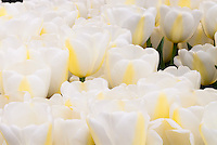 Tulipa 'Angel's Dream' (white tulips)