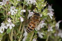 Honigbiene, Honig-Biene, Biene, Apis mellifera, Apis mellifica, Blütenbesuch im Garten auf Thymian, Nektarsuche, Blütenbestäubung, honey bee, hive bee