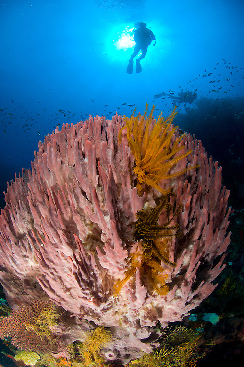 Giant barrel sponge (Xestospongia muta) and diver on a reef in Soufriere marine reserve