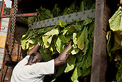 Organic tobacco harvest, Pine Knot Farms Thursday, September 6, 2012.