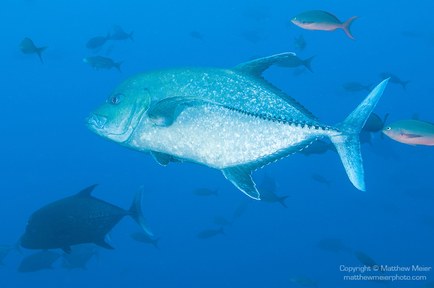 Cocos Island, Costa Rica; a Black Jack (Caranx lugubris) fish swimming in blue water with a school of Pacific Creolefish (Paranthias colonus) in the background