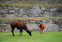 Llamas graze by Machu Picchu ruins of Inca citadel in Peru, South America