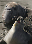 Northern Elephant Seals (Mirounga angustirostris). Bull mating with a young female. Piedra Blancas. Near Cambria, San Luis Obispo Co., Calif.
