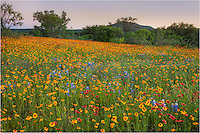 One evening while returning from searching for wildflowers out in the Texas Hill Country, I stopped along Highway 71 south of Llano to photograph this wonderful field of red firewheels and golden coreopsis. The sun was fading but the colors were not to be passed up.