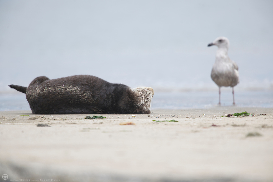 A juvenile herring gull watches a sea otter relaxing on a beach in Elkhorn Slough, Moss Landing, California.