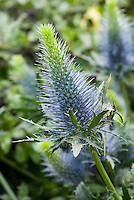 Eryngium 'Blue Orion' blue spiky flowers