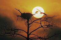 Osprey, Pandion haliaetus, adult landing on nest at sunset, Raleigh, Wake County, North Carolina, USA