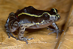 Spot Legged Poison Dart Frog, Epipedobates pictus, Iquitos, Peru, jungle, amazon, small . .South America....