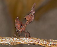 "0405-07mm  Ghost Mantis - Phyllocrania paradoxa ""Female Nymph"" - © David Kuhn/Dwight Kuhn Photography"