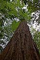 Redwood tree at Henry Cowell Redwoods State Park, Santa Cruz, California.