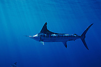 qf0454-D. Striped Marlin (Tetrapturus audax). Baja, Mexico, Pacific Ocean..Photo Copyright © Brandon Cole. All rights reserved worldwide.  www.brandoncole.com..This photo is NOT free. It is NOT in the public domain. This photo is a Copyrighted Work, registered with the US Copyright Office. .Rights to reproduction of photograph granted only upon payment in full of agreed upon licensing fee. Any use of this photo prior to such payment is an infringement of copyright and punishable by fines up to  $150,000 USD...Brandon Cole.MARINE PHOTOGRAPHY.http://www.brandoncole.com.email: brandoncole@msn.com.4917 N. Boeing Rd..Spokane Valley, WA  99206  USA.tel: 509-535-3489