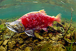 A sockeye salmon swims upstream to spawn, Wood-Tikchik State Park, Alaska, USA