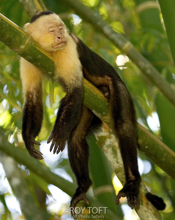 Toft-White-faced-Capuchin-Money-Sleeping - Sleeping in public - Jokes and Humor