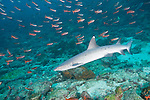 Cocos Island, Costa Rica; a Whitetip Reef Shark (Triaenodon obesus) swimming over the rocky reef during the day, with a school of Pacific Creolefish (Paranthias colonus) in the blue water background