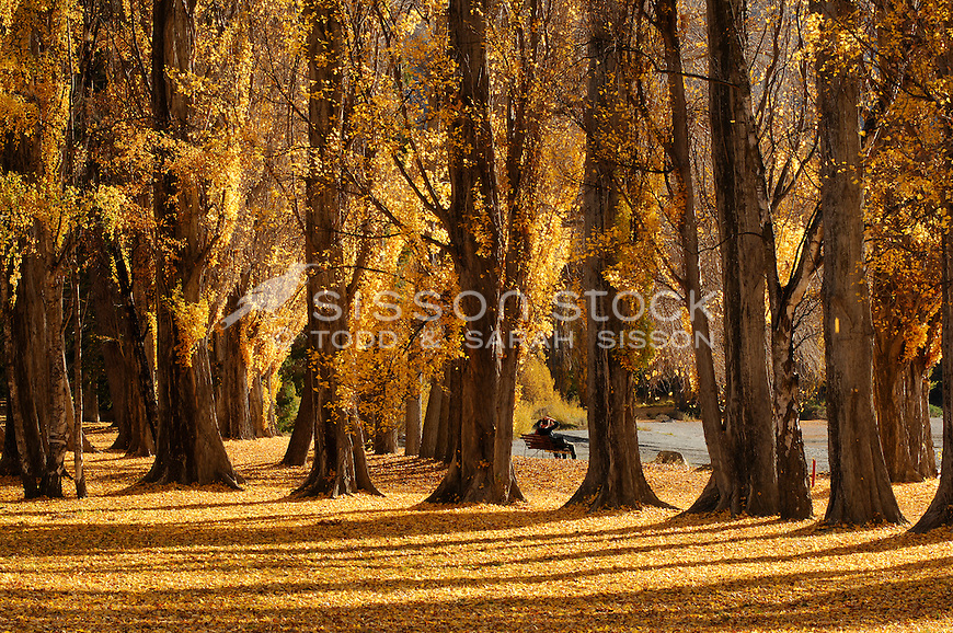 New Zealand Image | Autumn poplar trees and a carpet of yellow leaves next to Lake Wanaka, South Island, New Zealand<br /> <br /> NO NEW ZEALAND SOUVENIR OR POSTCARD LICENCING PERMITTED