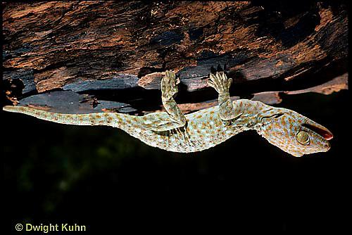 GK25-013x  Tokay Gecko - climbing upside down -  Gekko gecko