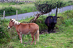 Europe, Ireland. Farm horse and cow in Ireland.