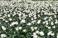 Field of opium flower in the Jalalabad valley Eastern Afghanistan