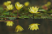 Yellow Waterlily (Nymphaea mexicana), Fennessey Ranch, Refugio, Coastal Bend, Texas, USA