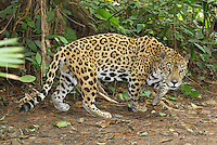 Jaguar walking (Panthera onca), Belize