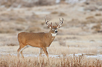 Whitetail buck during fall rut in Wyoming