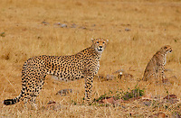 A mother cheetah and her cub, scout the plains of the Serengeti on search of pray. (PHOTO: MIGUEL JUAREZ LUGO).