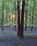 Dockey Wood, Bluebells