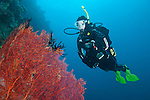 Bligh Waters, Vatu I Ra Passage, Fiji; a scuba diver hovering near a large, red gorgonian sea fan with a blue water backdrop