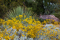 Encellia farinosa, Brittlebush flowering California native shrub in Santa Barbara Botanic Garden