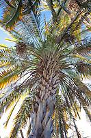 Cliff Date Palm tree (Phoenix rupicola) Arecaceae monocot plant family