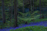 Bluebells grow naturally in beech woods and appear in the months of April and May in woodland throughout Europe