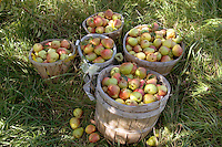 PEAR HARVEST