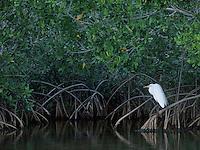 Great Egret, Ardea alba, adult on Manrove tree, Ding Darling National Wildlife Refuge, Sanibel Island, Florida, USA, Dezember 1998