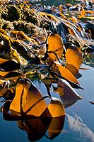 Kelp and seaweed at low tide, Knight island, Prince William Sound, Alaska