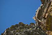 Alpine Ibex female (Capra ibex), Alps, Italy