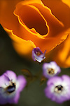 an orange California poppy purple with Davy gilia flowers at the Antelope Valley California Poppy Reserve