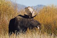 Moose, Alces alces, bull, Grand Teton NP,Wyoming, USA