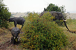 Africa, Kenya, Masai Mara. Elephants feeding on river bank in Mara.