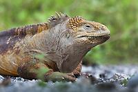 Land iguana, Isabella Island, Galapagos Islands, Ecuador